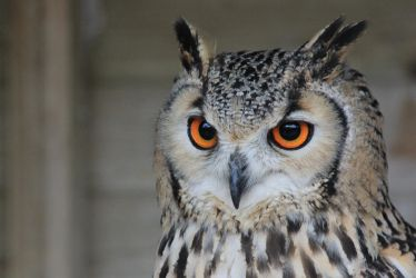 European Eagle Owl by S4MMY4RT