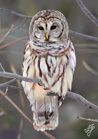 Owl by BannanaPower