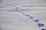 Rabbit tracks in the snow by Cesia