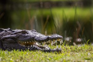 Crocky smile by CyclicalCore