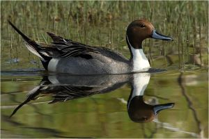 Nothern pintail by nakitez