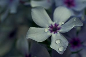 Blue Phlox by explicitly
