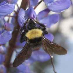 Bumble Bee in lupins by sunstroke-art