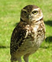 Burrowing Owl by flippytiger