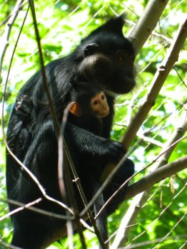 Black Mangabey and Baby by edgefan-talon