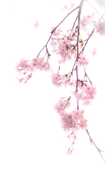 Cherry blossoms PNG #4 by AugT30