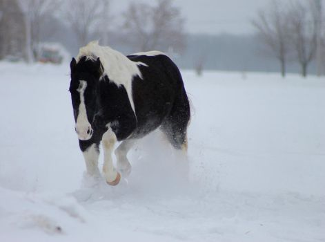 Stock - Black Paint Galloping in Winter by Miss-Ketchup