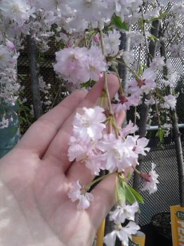 Cherry Blossoms by Magz2015