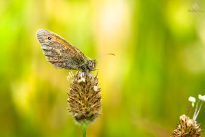 Butterfly Coenonympha pamphilus on a thistle by VitoDesArts