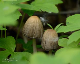Coprinus Micacea 1 by themanitou