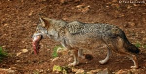 hungry wolf by Yair-Leibovich