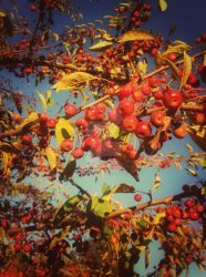 Berries on the Tree in Autumn by iThinkApple96