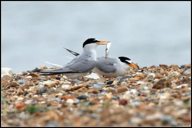 Little Terns by cycoze
