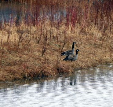 Canada Geese 52 by kbcollins