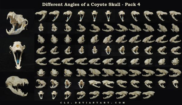 Different Angles of a Coyote Skull Pack 4 by XeiArt