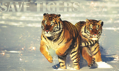 Save tigers by ThunderAnonymous