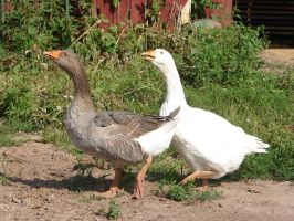 Domesticated Farm Geese by FantasyStock