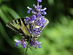 Butterfly -2 by chasphrey