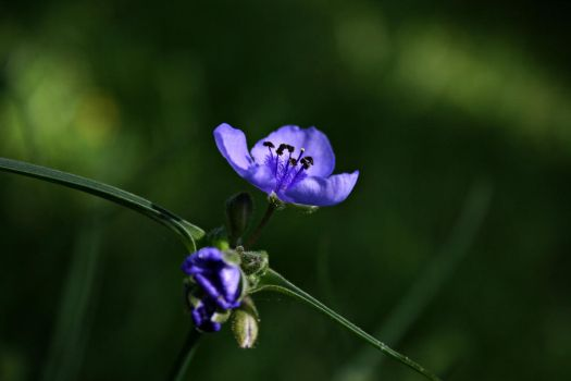 Spiderwort by feyenigma