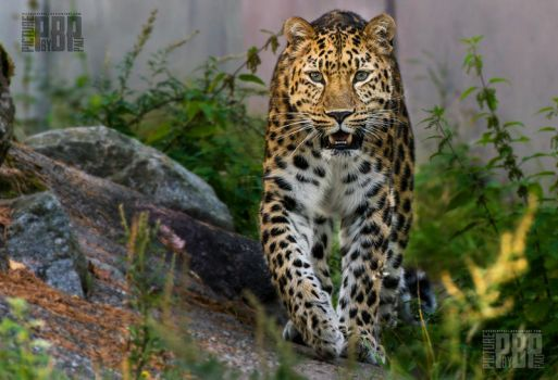The Amur Leopard by PictureByPali