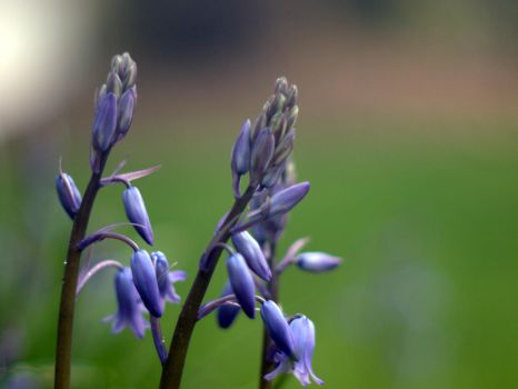 Bluebells by turtletech