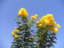 Tall Yellow Flowers by blackroselover