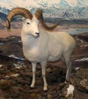 Denver Museum Big Horn Sheep 256 by Falln-Stock