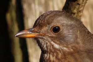 Female Blackbird portrait by pell21