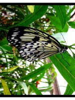 Black and White Butterfly by crystalfalls