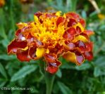 Marigold Flower by BreeSpawn