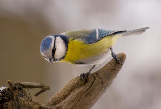 blue tit 6 by mightymouse007