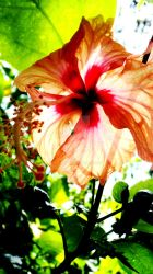hibiscus by lieyyy