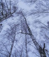birch trees by Aisule