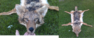 Wolf Sized Coyote Rug For Sale by LittleWolfPaw