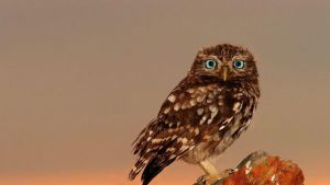 Owl with blue eyes by frostyvamp