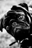 Pug by Imnotreal