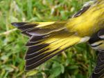 Siskin Tail 08 by Axy-stock