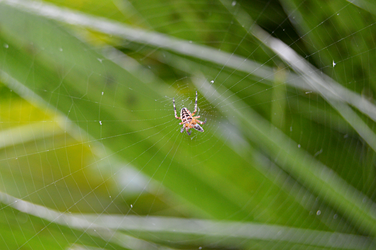 Hunting spider by Ama-Lemuria