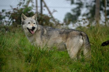 Wolf At Woburn by Iron-Star