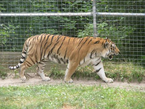 Amur Tiger Stock 11 by HOTNStock