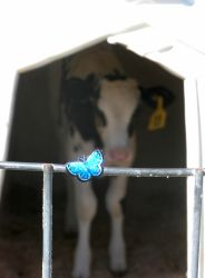 Butterflies n Dairy Heifers by mirielthepiratelover
