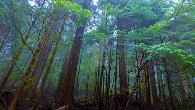 Foggy Forest by zenmountainmedia