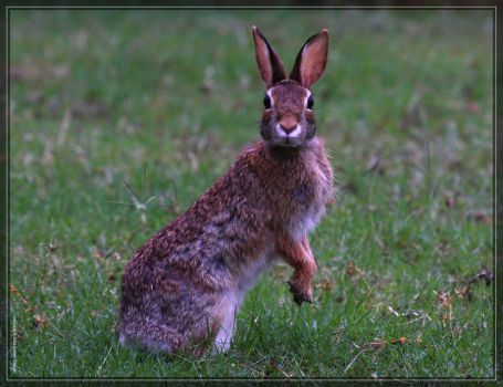 Eastern Cottontail 40D0040169 by Cristian-M