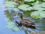 A Duck in Japanese Garden by kas7ia