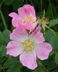 (Pink) Rosa Canina / Dog Rose Flower. by Lacrimosa-Angelus