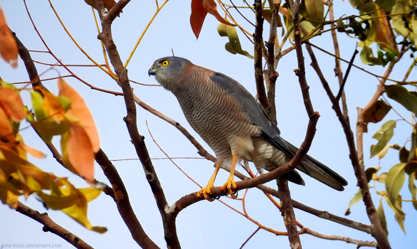 Collared Sparrowhawk by Mike-Kossi