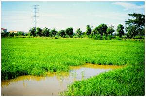 Paddy Field Perlis by carnine9