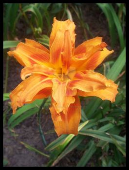 Orange Lily by iLovePhotographyClub