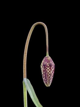 Fritillaria meleagris 03 by Paul-Gulliver