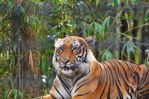 Tiger Jungle by Focus-Fire